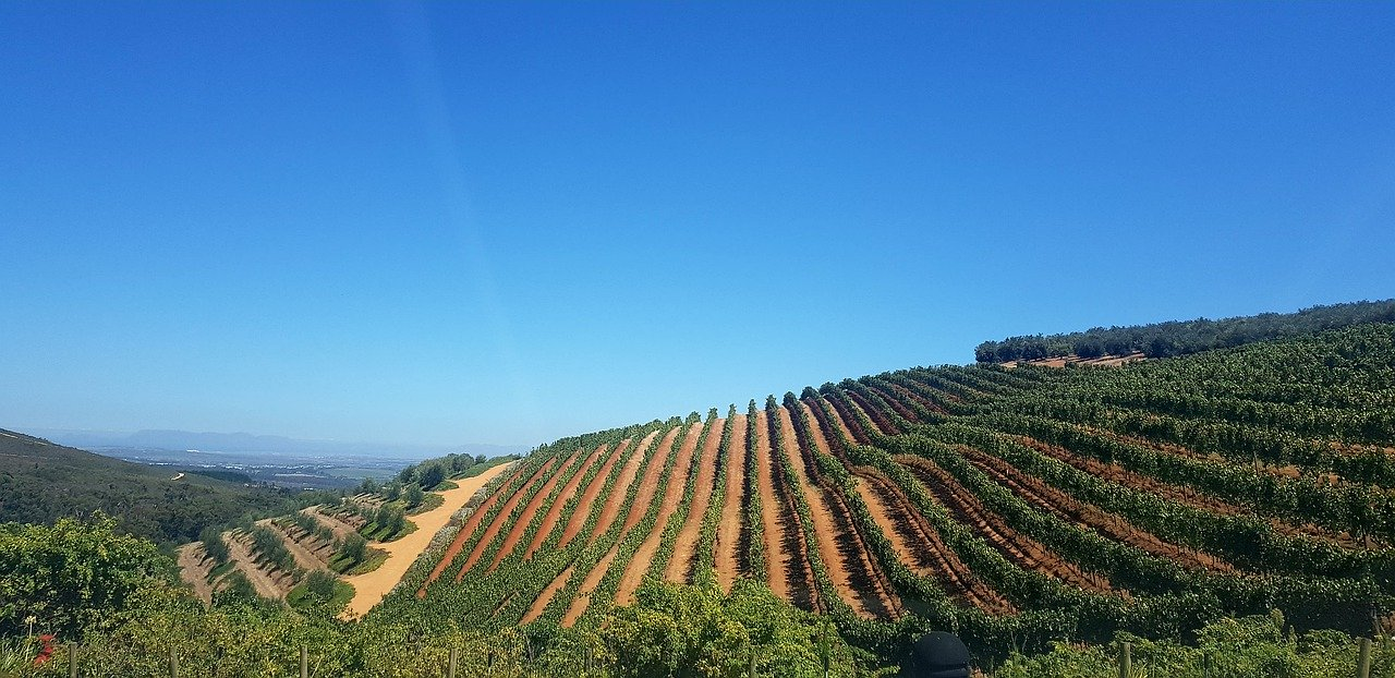 Wine Vineyards in South Africa