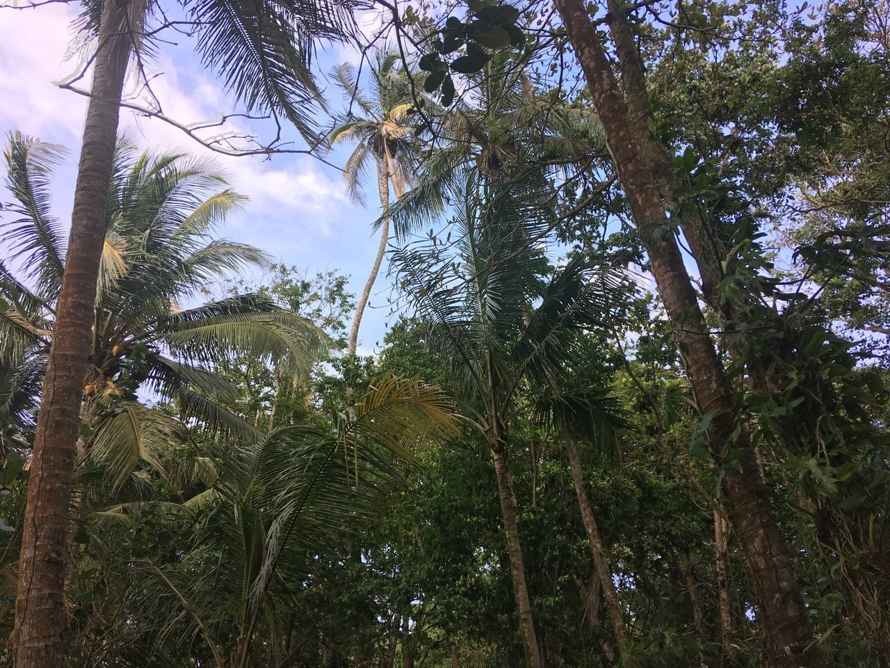 Palm trees in Central America